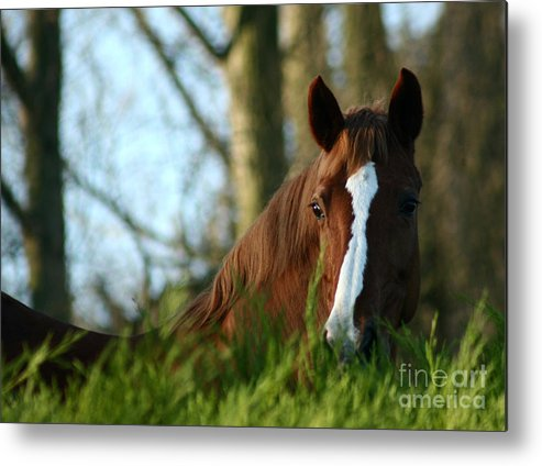 Chestnut Horse Metal Print featuring the photograph Behind The Fence by Angel Ciesniarska