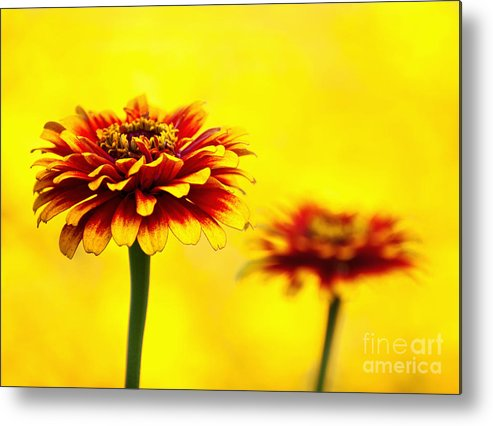 Zinnias. Flowers Metal Print featuring the photograph A Colorful Pair by Claudia Kuhn