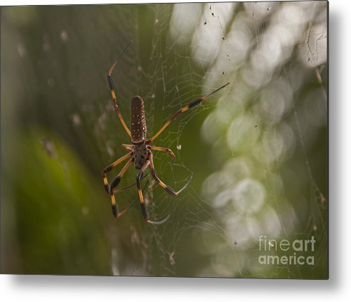 Sunrise Metal Print featuring the photograph Banana Spider by Roy Thoman