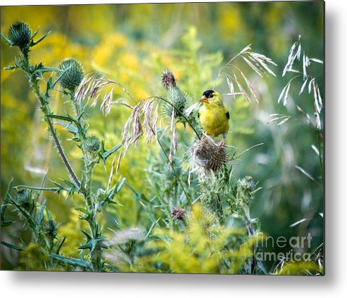 Finch Metal Print featuring the photograph Find The Finch by Cheryl Baxter