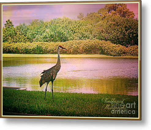 Florida Metal Print featuring the photograph Hanging Around The Beautiful Florida Sand Crane by Carol Grenier