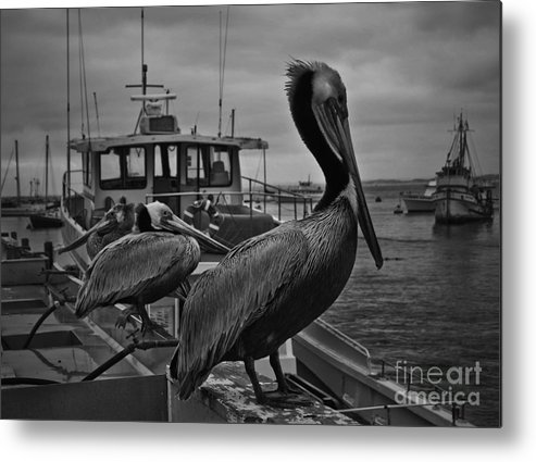 Pelican Metal Print featuring the photograph Pelican On Pier by Moore Design