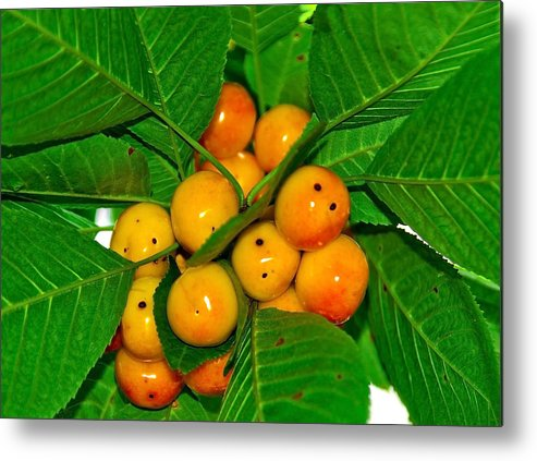Black Metal Print featuring the photograph Bunch Of Cherries by Svetlana Sewell