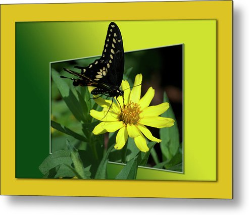Test Metal Print featuring the photograph Butterfly Swallowtail 01 16 By 20 by Thomas Woolworth