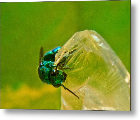 Wasp Metal Print featuring the photograph Halicid Wasp 1 by Douglas Barnett