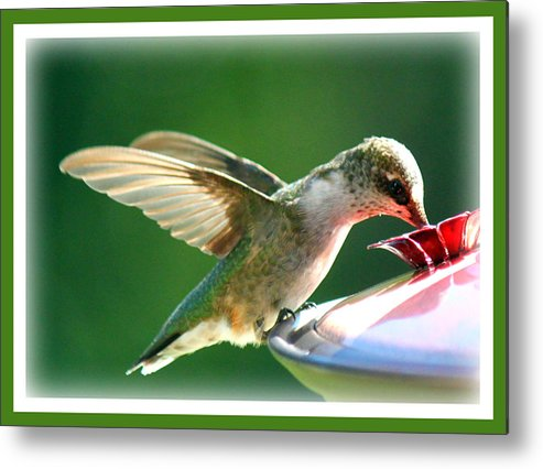 Nature Metal Print featuring the photograph Hummingbird Eating by Katie OKeefe