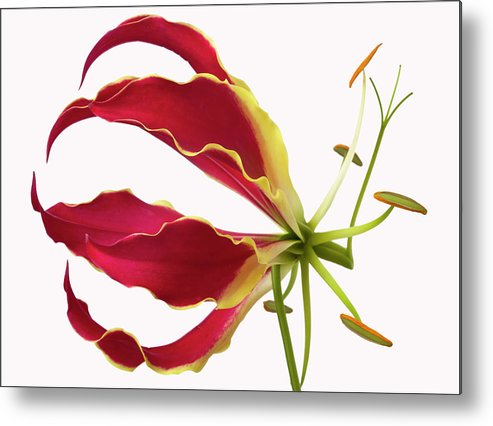 Floral Still Life Metal Print featuring the photograph Lily Still Life 4 by Robert Ullmann