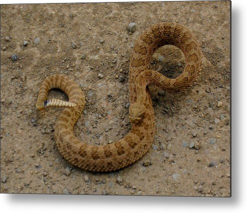 Rattlesnake Metal Print featuring the photograph Mad Rattler by Amara Roberts