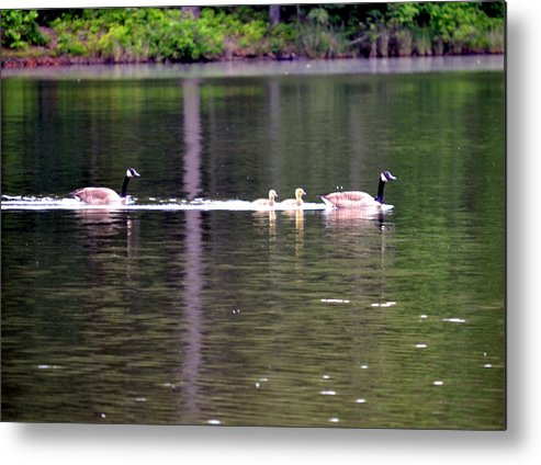 Canda Geese Metal Print featuring the photograph My Happy Family by Tanya Tanski