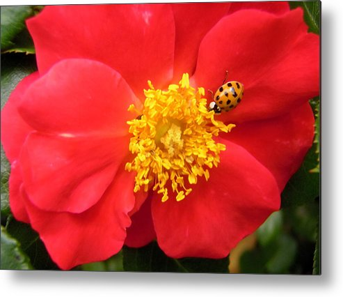 Rose Metal Print featuring the photograph Rose And Visitor by Stephanie Moore