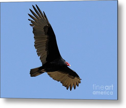 Turkey Vulture Metal Print featuring the photograph Turkey Vulture by Marc Bittan