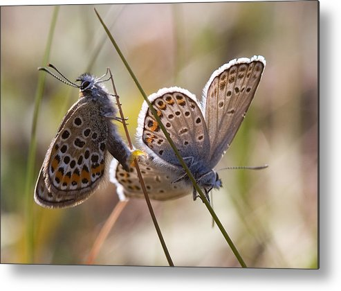 Butterfly Metal Print featuring the photograph Silver-studded Blue Butterflies by Bob Kemp