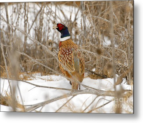 Bird Metal Print featuring the photograph Ring Necked Pheasant by Dennis Hammer