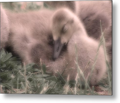 Goose Metal Print featuring the photograph All Is Right In My World by Kenneth Krolikowski