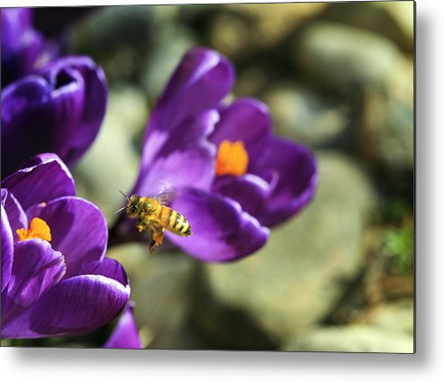 Bee Metal Print featuring the photograph Coming In For A Landing by Marilyn Hunt