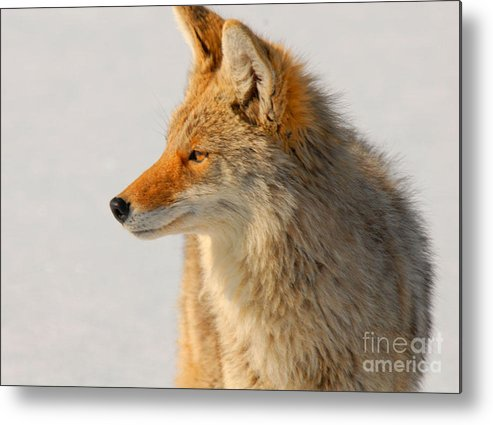 Coyote Metal Print featuring the photograph Coyote by Dennis Hammer