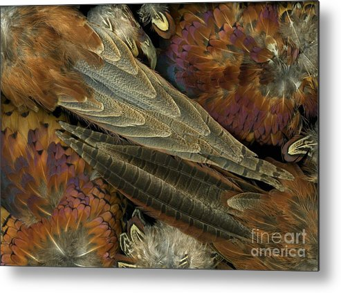 Pheasant Metal Print featuring the photograph Featherdance by Christian Slanec