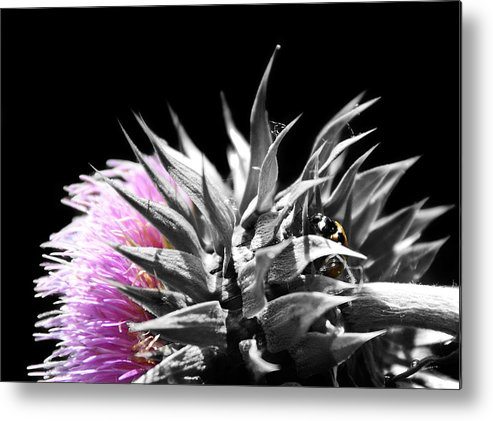 Thistle Metal Print featuring the photograph Lady Bug Thistle by Karl Manteuffel