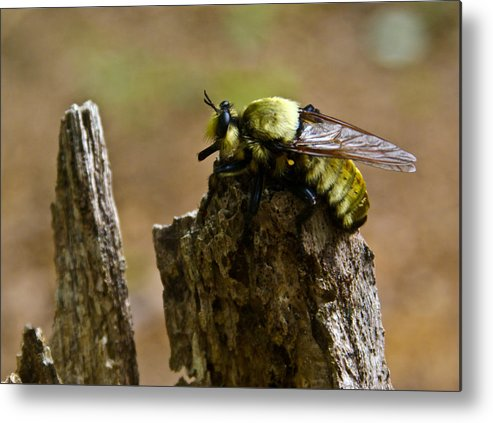 Fly Metal Print featuring the photograph Mrs. Fly by Douglas Barnett
