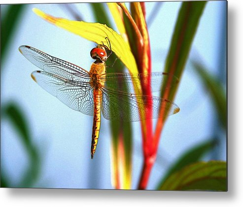 Dragonfly Metal Print featuring the photograph No Regrets by Pattie Frost