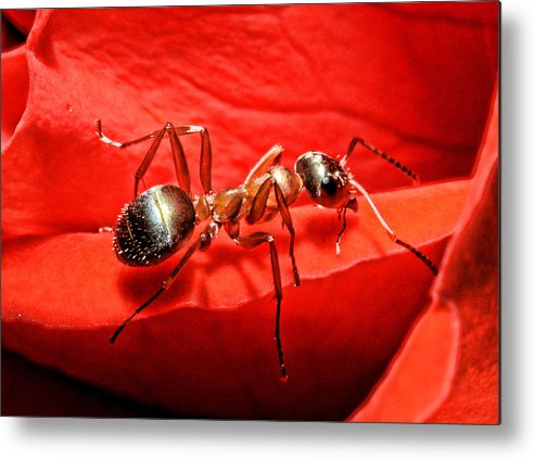 Ant Metal Print featuring the photograph One Soldier by Lawrence Christopher