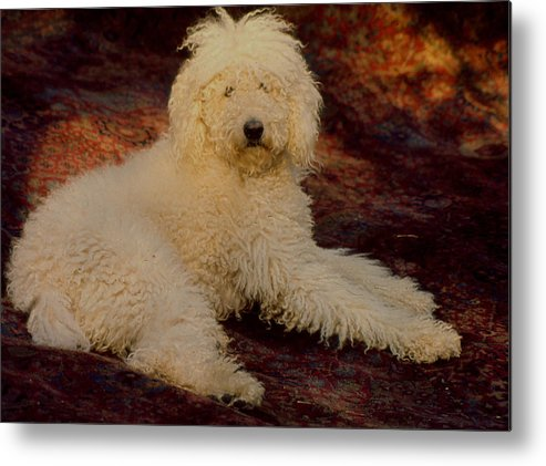 Poodle Metal Print featuring the photograph Rommyangelo by Terrell Gates