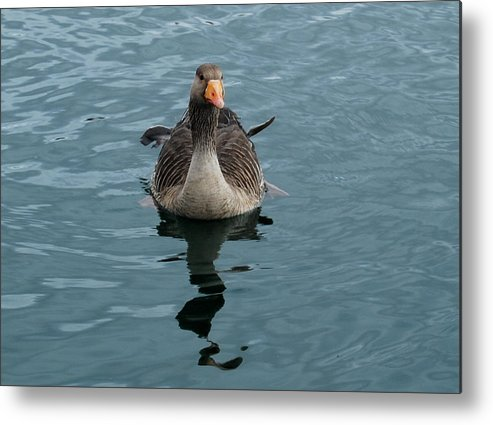 Goose Metal Print featuring the photograph Ruffled Feathers by Marilynne Bull