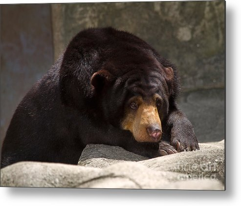 Animal Metal Print featuring the photograph Sun Bear by Louise Heusinkveld