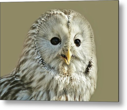Owl Metal Print featuring the photograph Ural Owl by Paulette Thomas