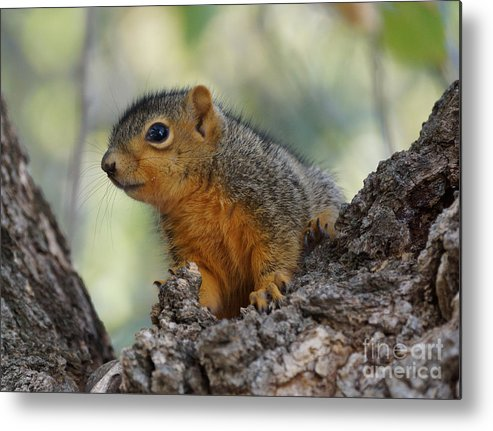 Squirrel Metal Print featuring the photograph Squirrel by Lori Tordsen
