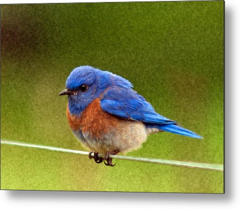 Animals Metal Print featuring the photograph Bluebird Painting by Jean Noren