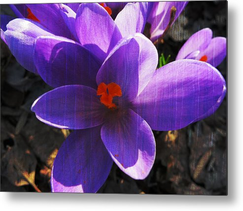 Crocus Metal Print featuring the photograph Crocus Purple And Orange by Patricia Januszkiewicz