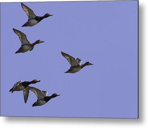 Redheaded Ducks Metal Print featuring the photograph Flock Of Readheads by Thomas Young