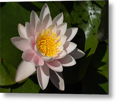 Water Lily Metal Print featuring the photograph Gently Pink Waterlily In The Hot Mediterranean Sun by Georgia Mizuleva