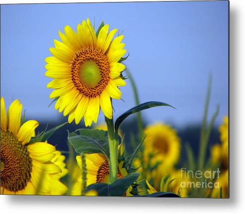 Sunflower Metal Print featuring the photograph Getting To The Sun by Amanda Barcon