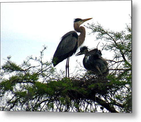 Blue Heron Metal Print featuring the photograph Great Blue Heron With Fledglings II by Suzanne Gaff