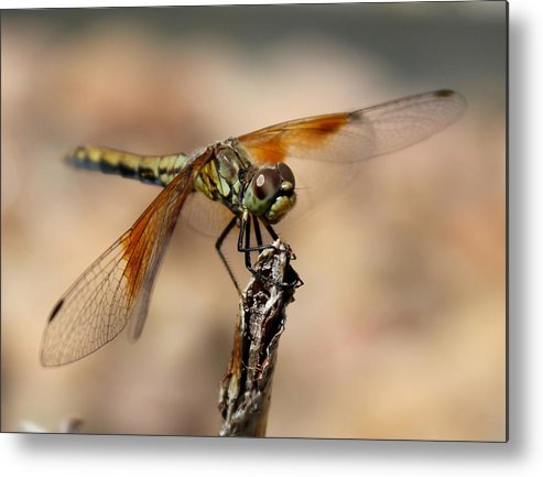 Dragon Metal Print featuring the photograph Green Dragonfly by Trent Mallett