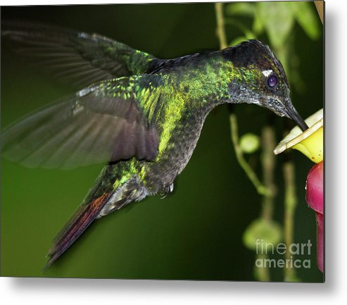 Rufous Tailed Hummingbird Metal Print featuring the photograph Nectar Feeding Hummingbird by Heiko Koehrer-Wagner
