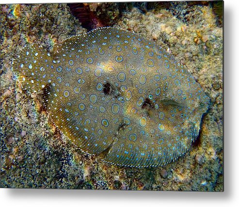 Flounder Metal Print featuring the photograph Peacock Flounder by Rob Michels