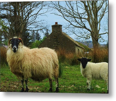 Sheep Metal Print featuring the photograph Sheep Of Donegal Ireland by Jeannie Allerton