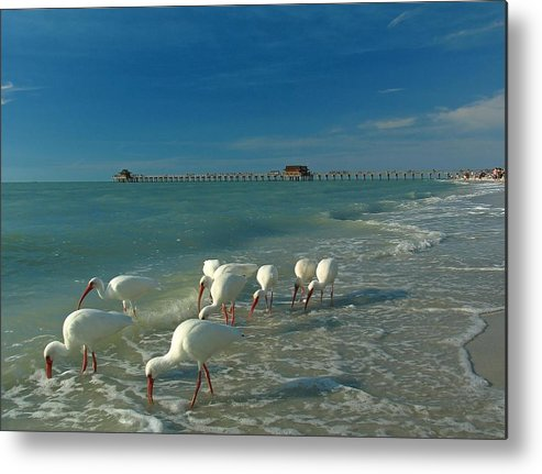 Florida Metal Print featuring the photograph White Ibis Near Historic Naples Pier by Juergen Roth