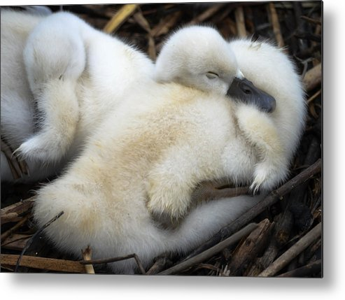 Metal Print featuring the photograph Cygnet by Brian Stevens