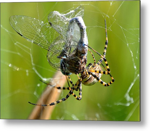 Arachnid Metal Print featuring the photograph No Way Out by Fraida Gutovich