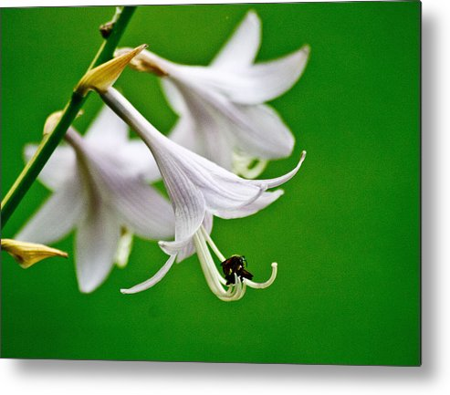 Nature Metal Print featuring the photograph Hosta by Judith Lawhon