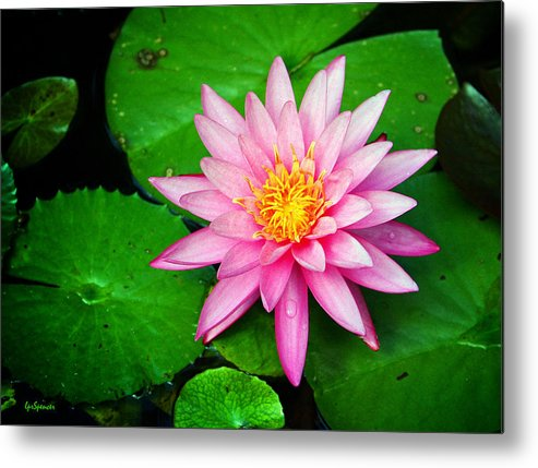 Water Lily Metal Print featuring the photograph Pink Nymphaea by Lisa Spencer