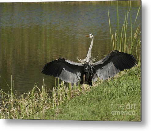 Great Blue Herring Landing Metal Print featuring the photograph Safe Landing by David Waldrop