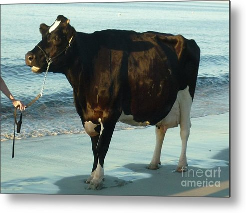 Cow Metal Print featuring the photograph Standing Room Only by Therese Alcorn