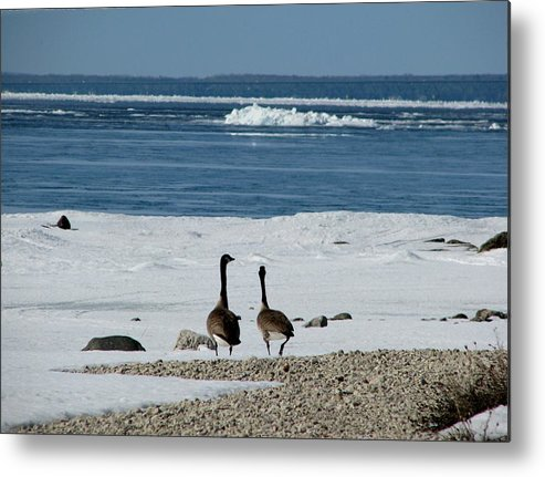 Canada Geese Metal Print featuring the photograph Waiting For Spring by Keith Stokes