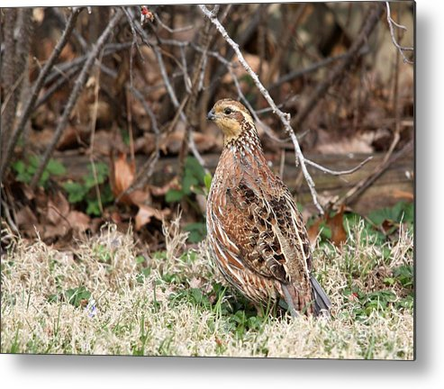Nature Metal Print featuring the photograph Northern Bobwhite Quail by Jack R Brock
