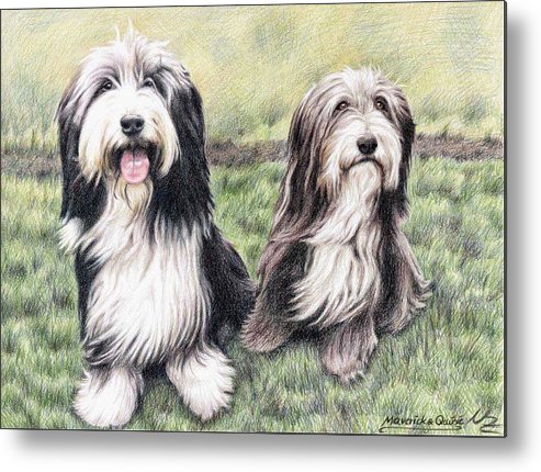 Dogs Metal Print featuring the drawing Bearded Collies by Nicole Zeug